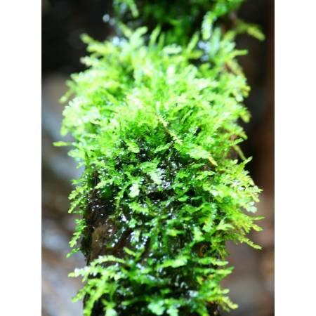 Weeping moss (vesicularia ferrei )Mech płaczący - porcja