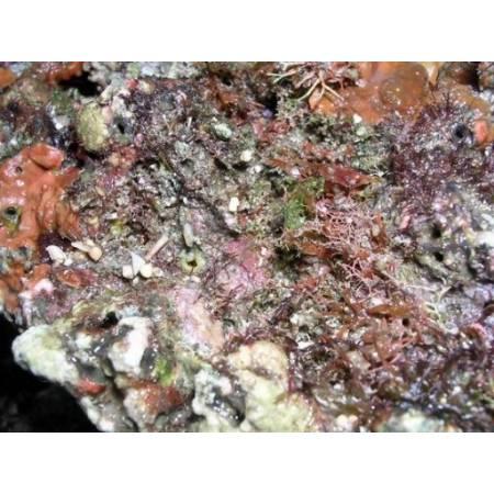 """Żywa skała """"dzika"""" z Indonezji 1kg"""