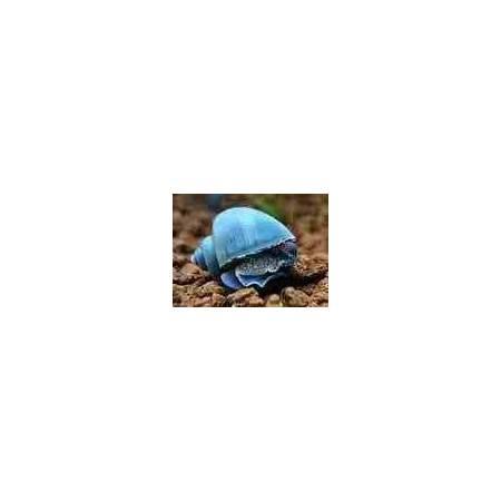 Ślimak Ampularia niebieska