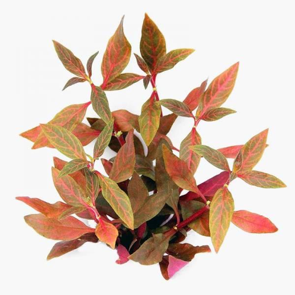 Alternanthera reineckii Red Ruby - Dennerle