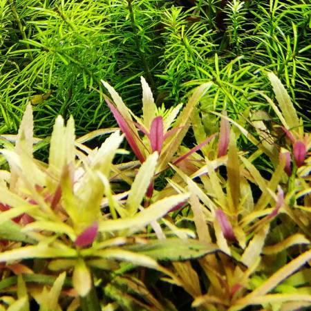Limnophila aromatica - Dennerle