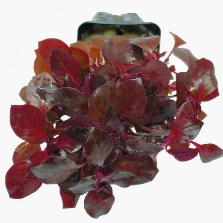 Ludwigia mini Sp Super Red